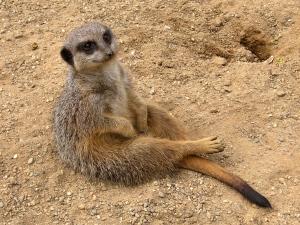meerkat_Suricata_suricatta